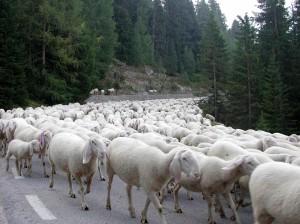 Pecore Su Strada
