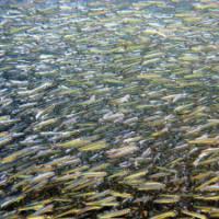 Acciuga, un pesce che soffre la differenza di genere